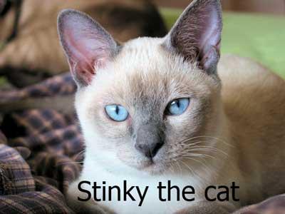 tonkinese_cat_1